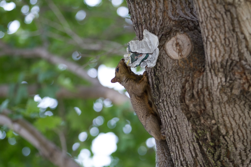 Ever wonder why the campus squirrel population is so vibrant? Free food! Each week's thousands of unread 'Weekly' copies provide nourishment for hundreds of our furry friends.